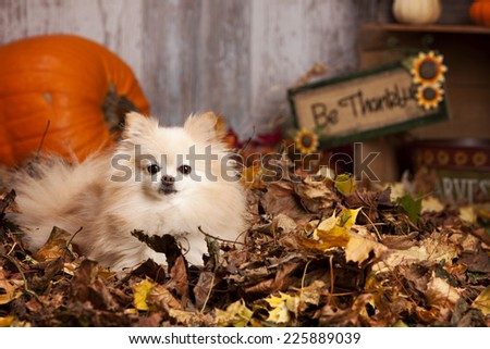 Adorable Pomeranian lying in a pile of leaves with pumpkins and other fall decor in the background. - stock photo