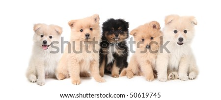 Adorable Pomeranian Puppies Lined up on White Background - stock photo