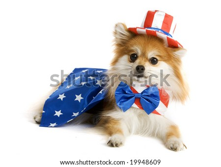 Adorable Pomeranian puppy decked out in an Uncle Sam Suit.  Isolated on white. - stock photo