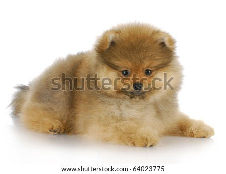 adorable pomeranian puppy laying down with reflection on white background