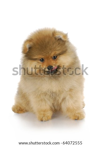 adorable pomeranian puppy licking lips with reflection on white background - stock photo
