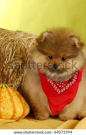 adorable pomeranian puppy sitting among colorful autumn objects