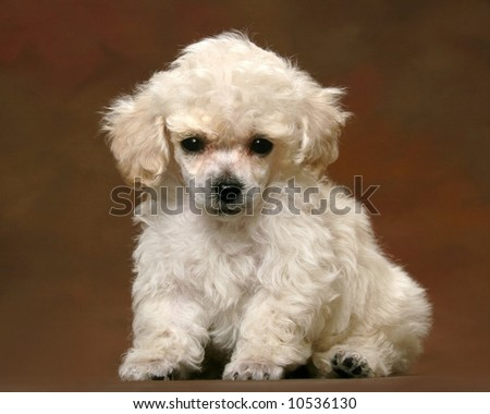 Adorable Poodle Puppy - stock photo