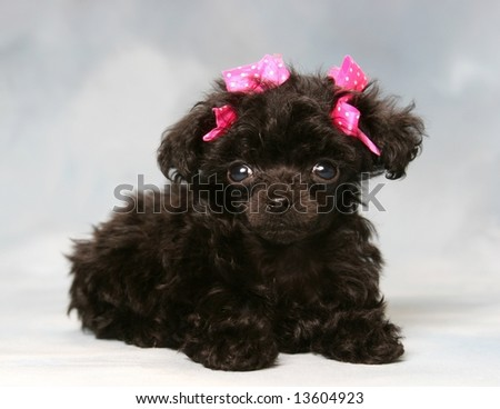 adorable poodle puppy with pink bows - stock photo