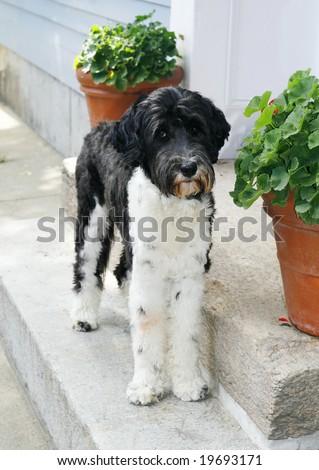 adorable portuguese water dog - stock photo