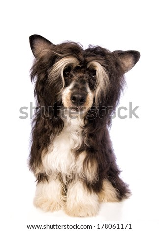 Adorable Powder Puff Chinese Crested dog isolated on white background