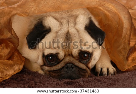 adorable pug hiding under brown blanket