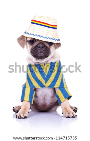 adorable pug puppy dog sitting wearing clothes and a traditional romanian hat looking away from the camera. on white background - stock photo