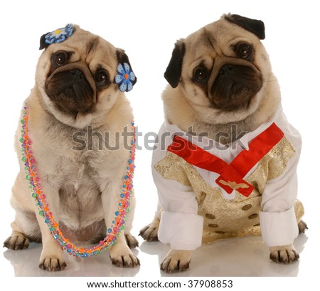 adorable pugs dressed up as a couple - stock photo