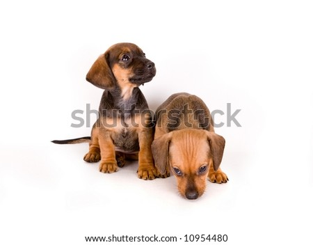 Adorable puppies of dachshund isolated on white - stock photo