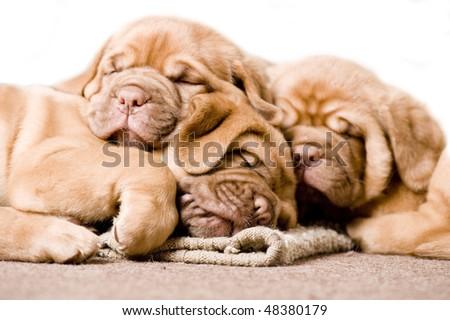 adorable puppy - stock photo