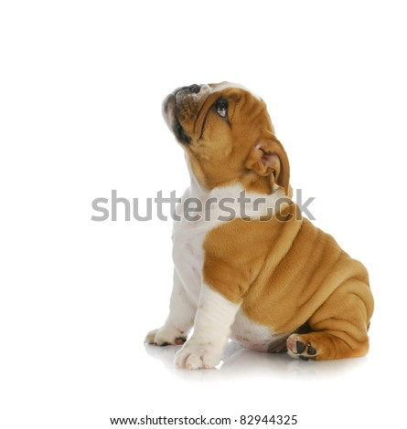 adorable puppy - english bulldog puppy sitting looking up on white background - 8 weeks old - stock photo