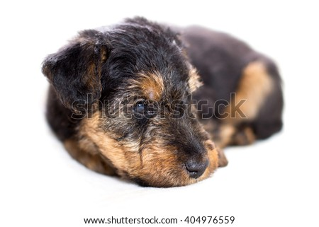 Adorable puppy lying - stock photo