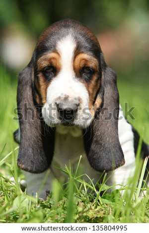 Adorable puppy of basset hound looking directly at you - stock photo