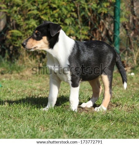 Adorable puppy of Collie Smooth standing in the garden