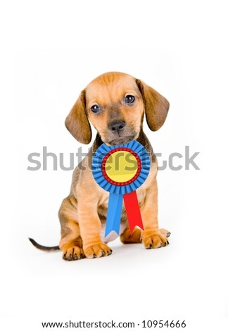 Adorable puppy of dachshund with winner ribbon - stock photo