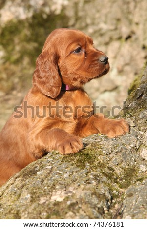 Adorable Puppy of Irish Red Setter - stock photo