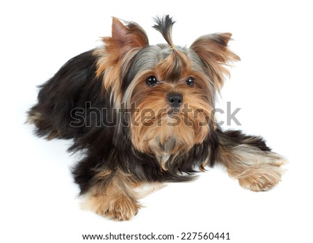 Adorable puppy of the Yorkshire Terrier on white - stock photo