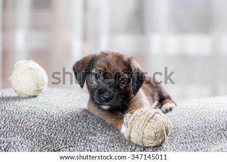Adorable  puppy playing with a ball of yarn