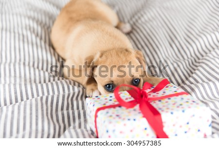 Adorable Puppy Playing with Small Wrapped Present - stock photo