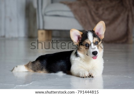 adorable purebred puppy lying on the floor