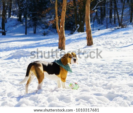 Fantastic Toy Beagle Adorable Dog - stock-photo-adorable-purebreed-beagle-puppy-dog-wearing-green-buff-or-scarf-staying-on-snow-with-toy-winter-in-1010317681  Image_703312  .jpg