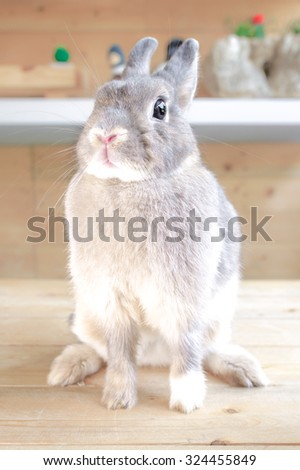 Adorable Rabbit on the Wooden Table, Netherland Dwarf rabbit Pure Breed, Selective Focus - stock photo