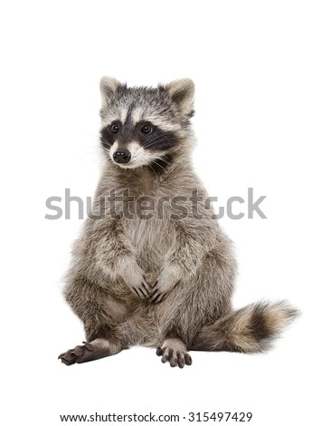 Adorable raccoon sitting isolated on white background  - stock photo