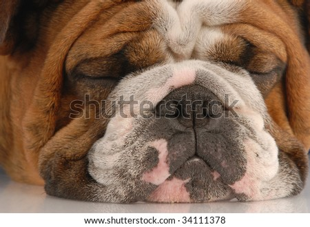 adorable red brindle english bulldog face sleeping - stock photo