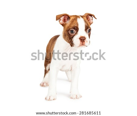 Adorable red color seven week old Boston Terrier puppy standing on a white background