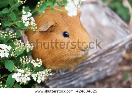 adorable red guinea pig portrait outdoors
