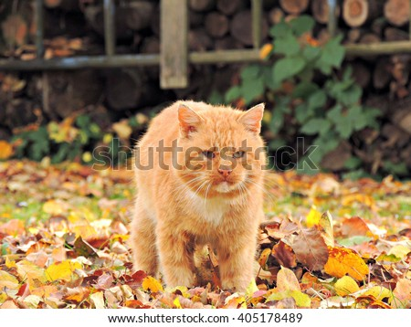 Adorable redhead cat standing up in the leaves - stock photo