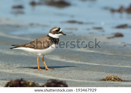 Adorable Ringed Plover (Charadrius hiaticula) on the beach - stock photo