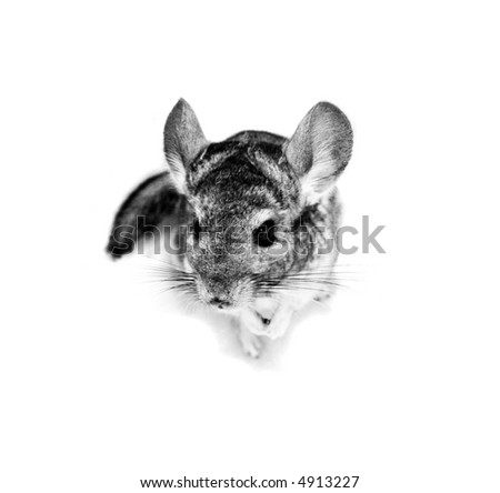Adorable rodent's siting and thinking: Where did you humans put my crackers again? Give me some! - stock photo