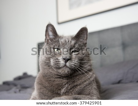 Adorable Russian Blue Cat Mix Relaxing on Owner's Bed with Gray Sheets
