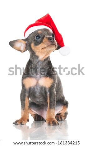 adorable russian toy puppy in santa hat