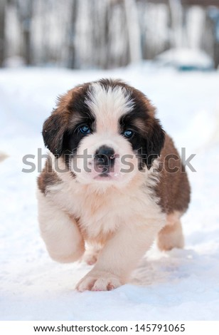 Adorable saint bernard puppy running in winter - stock photo
