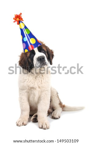 Adorable Saint Bernard Purebred Puppy  - stock photo
