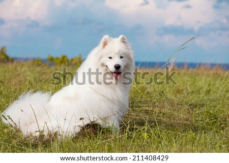Adorable samoyed puppy on the lawn - stock photo
