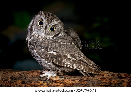 Adorable screech owl. - stock photo
