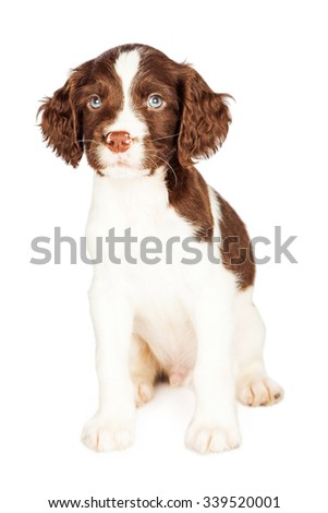 Adorable seven week old puppy dog sitting on a white background looking forward into camera