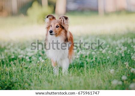 Fantastic Icelandic Sheepdog Canine Adorable Dog - stock-photo-adorable-shetland-sheepdog-sheltie-dog-on-a-walk-675961747  Photograph_508075  .jpg