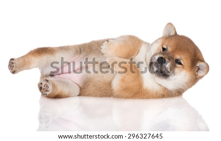 adorable shiba inu puppy lying down on the side