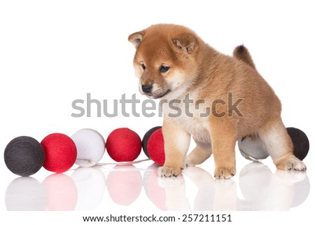 adorable shiba inu puppy standing on white - stock photo