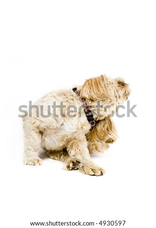 Adorable shih tzu / poodle dog scratching his ear - stock photo