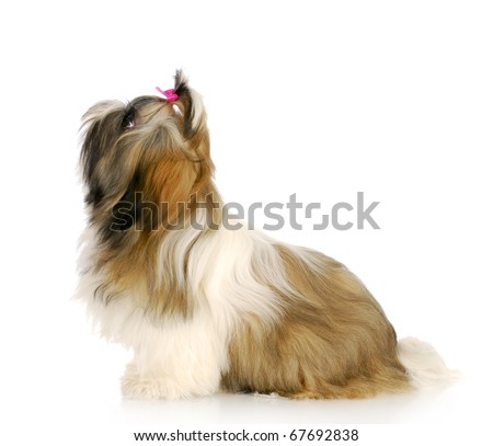 adorable shih tzu puppy sitting looking up with reflection on white background - stock photo