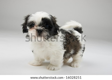 Adorable Shih Tzu puppy standing by himself facing the camera. - stock photo