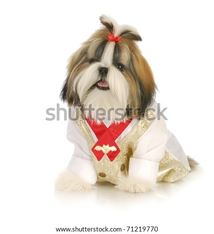 adorable shih tzu puppy wearing formal shirt and red bow sitting with reflection on white background