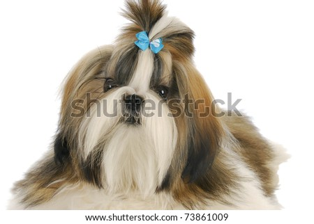 adorable shih tzu puppy with blue bow on white background - stock photo