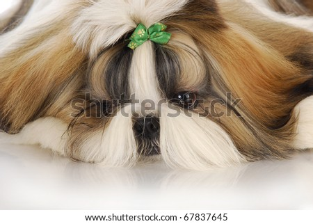 adorable shih tzu puppy with green bow - head portrait - stock photo